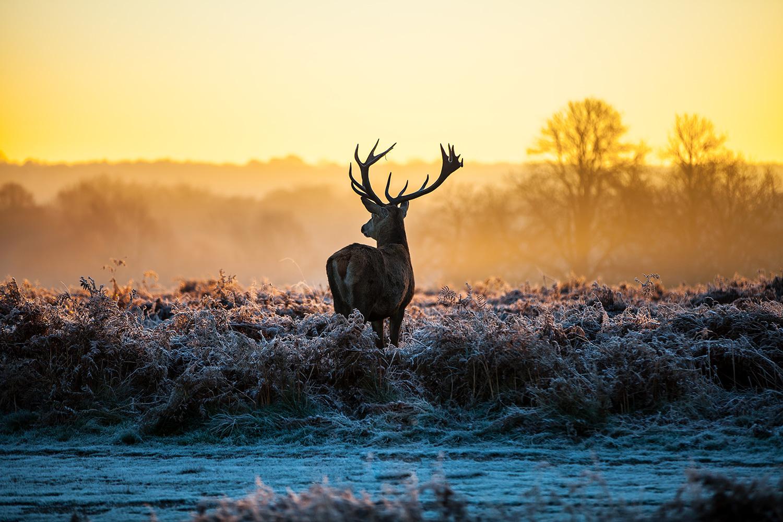 Kronhjort i horisonten, hvem vil ikke gerne møde den på sin jagt